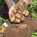 Five Top Tips For Growing Potatoes