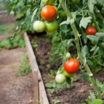 Growing Organic Tomatoes