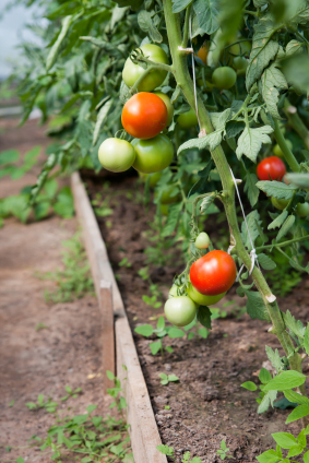 Organically grown tomatoes